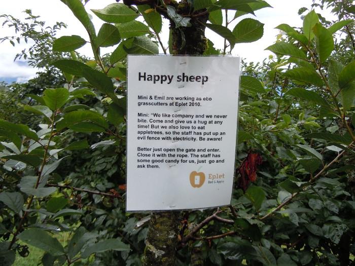 Eplet hostel sheep